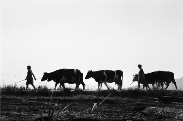 Régis Bossu ''Milking time'', Odenwald, Germany, 1971
