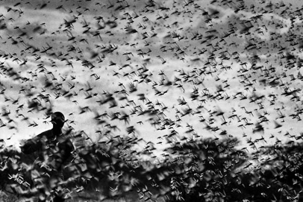 """René Groebli """"Heuschrecken in Eritrea (#609)"""", 1952"""
